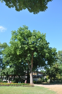 Celtis occidentalis.